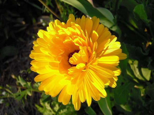 Photograph - Williamsburg Sunshine Calendula  by Nicole Angell