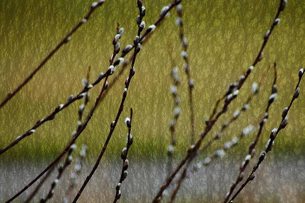 Photograph - Willow Buds Textured  by Beth Akerman