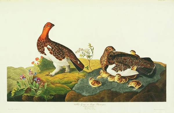 Wall Art - Photograph - Willow Grouse by Natural History Museum, London/science Photo Library