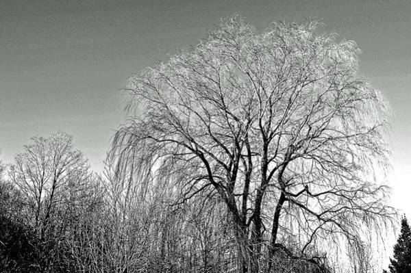 Photograph - Willow In Black And White by Phyllis Meinke