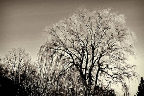 Photograph - Willow In Sepia by Phyllis Meinke