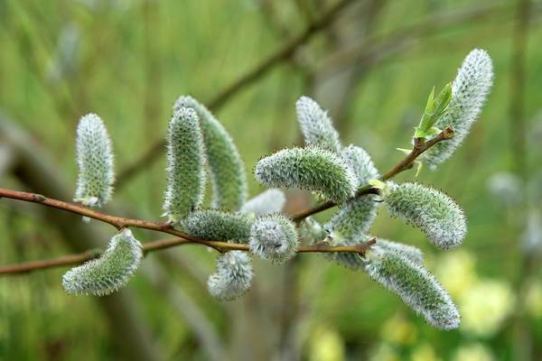 The Grey Photograph - Willow (salix 'the Hague') by Adrian Thomas/science Photo Library