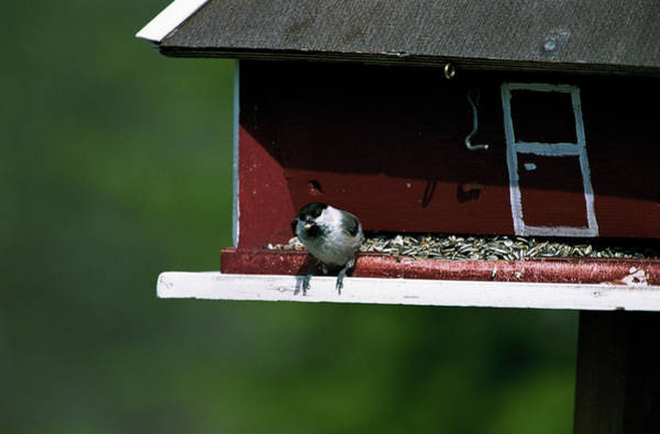 Tit Photograph - Willow Tit by Leslie J Borg/science Photo Library