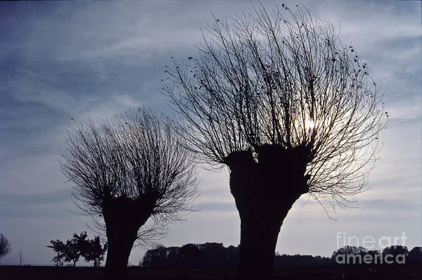 Photograph - Willow Trees In Winter by Heiko Koehrer-Wagner