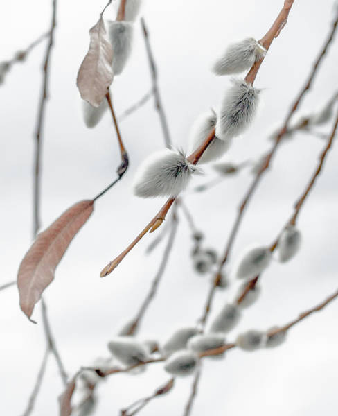 Willow Photograph - Willows In Snow by Aaron Aldrich