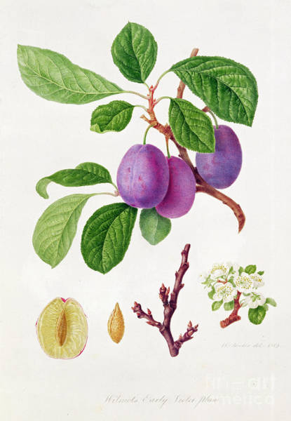 Botanical Garden Wall Art - Painting - Wilmot's Early Violet Plum by William Hooker