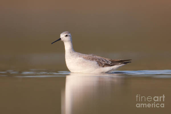 Scolopacidae Photograph - Wilsons Phalarope I by Clarence Holmes