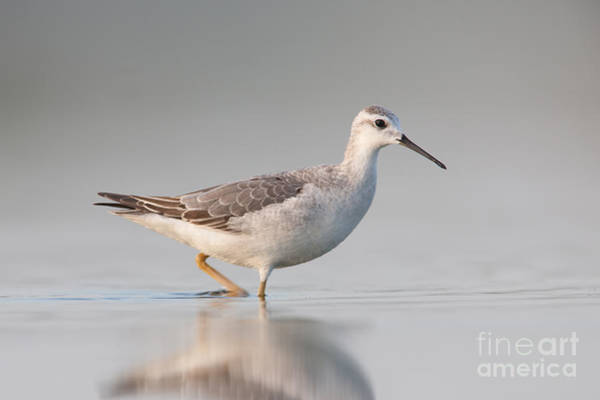 Scolopacidae Photograph - Wilsons Phalarope II by Clarence Holmes