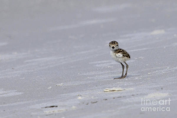 Photograph - Wilson's Plover Chick Photo by Meg Rousher