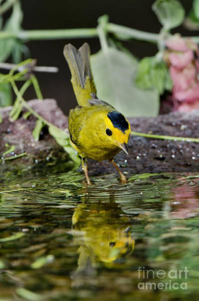 Parulidae Photograph - Wilsons Warbler by Anthony Mercieca