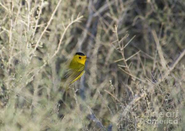 Photograph - Wilson's Warbler by Dan Suzio