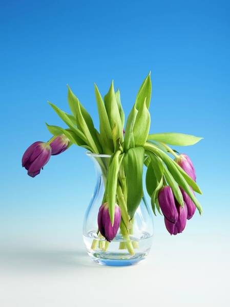 Wilt Photograph - Wilting Tulips by Science Photo Library