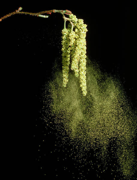 Alder Photograph - Wind Dispersal Of Pollen From Male Catkins by Dr Jeremy Burgess/science Photo Library