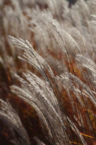 Windblown Grass Art Print