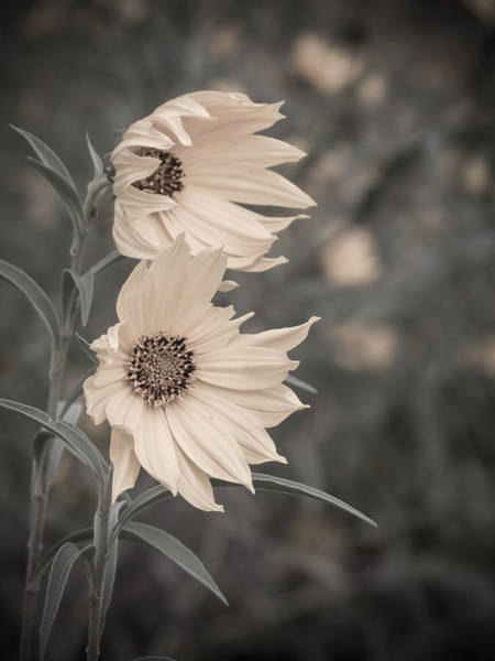 Photograph - Windblown Wild Sunflowers by Patti Deters