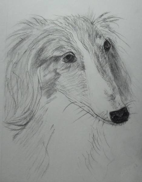 Sight Hound Drawing - Windhound by Image Source