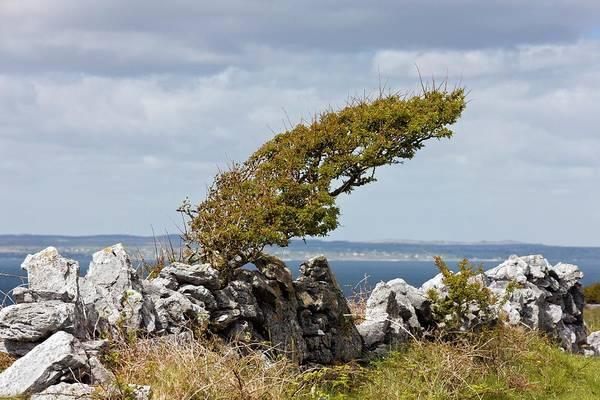 The Burren Photograph - Windswept Hawthorn (crataegus Monogyna) by Bob Gibbons