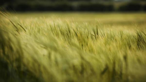 Windswept Photograph - Windswept Wheat by Nigel Jones