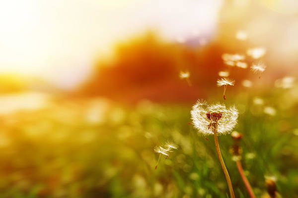 Windy Dandelion In Spring Time Art Print by Stock_colors