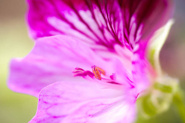 Photograph - Windy Day Geranium by Priya Ghose