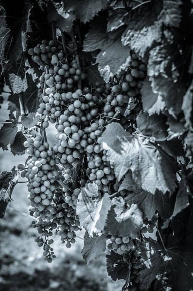 Photograph - Wine Grapes Bw by David Morefield
