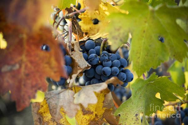 Photograph - Wine Grapes by Charmian Vistaunet