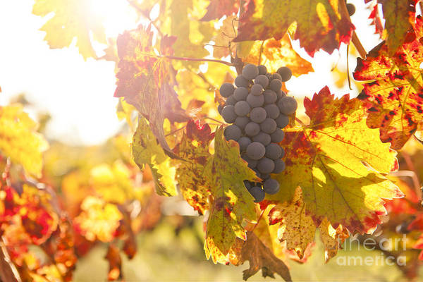 Grape Leaves Photograph - Wine Grapes In The Sun by Diane Diederich