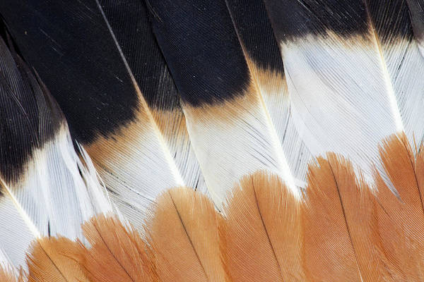 Wing Fanned Out On Northern Lapwing Art Print