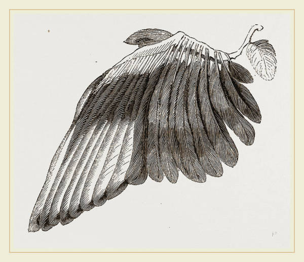 Magpies Drawing - Wing Of Magpie by Litz Collection