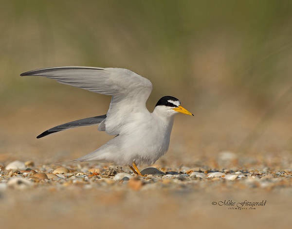 Photograph - Wing Stretch by Mike Fitzgerald