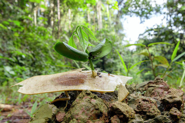 Ecuador Wall Art - Photograph - Winged Seed Germinating In The Rainforest by Dr Morley Read