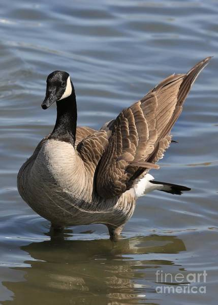 Photograph - Winging It Canadian Goose by Carol Groenen