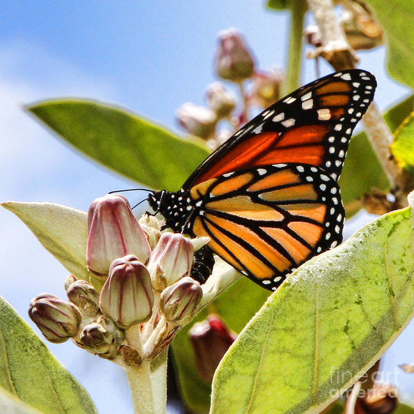 Photograph - Wings Up Monarch Butterfly By Diana Sainz by Diana Raquel Sainz
