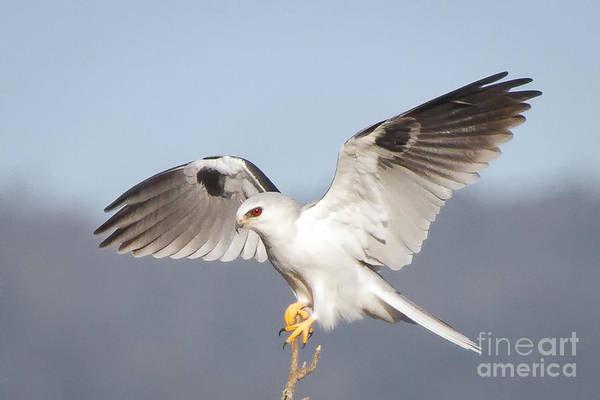 White-tailed Kite Photograph - Wingspan by Alice Cahill