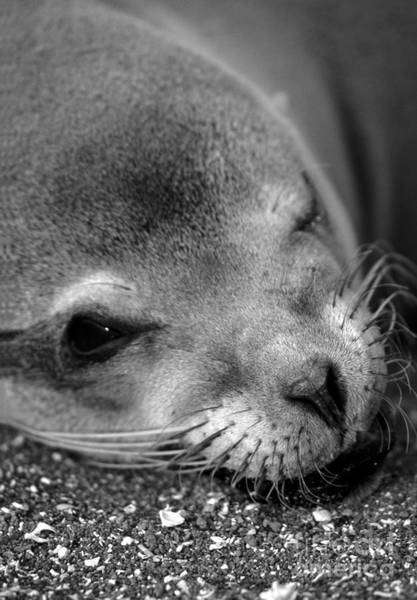 Photograph - Winking Sea Lion by Chris Scroggins