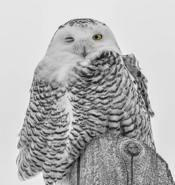 Winking Snowy Owl Black And White Art Print