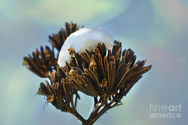 Photograph - Winter Agave Bloom by Donna Greene