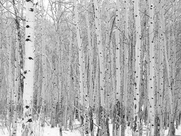 Photograph - Winter Aspen by Gerry Bates