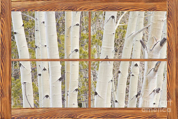 Unframed Wall Art - Photograph - Winter Aspen Tree Forest Barn Wood Picture Window Frame View by James BO Insogna