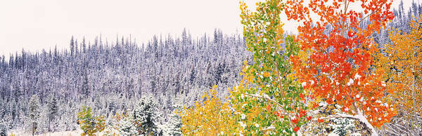 Icy Leaves Wall Art - Photograph - Winter, Aspens, Usa by Panoramic Images