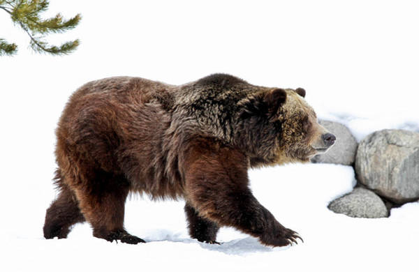 Grizzly Bears Photograph - Winter Bear Walk by Athena Mckinzie