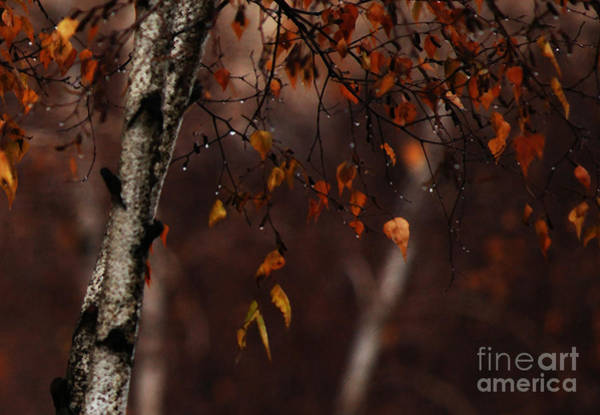 Photograph - Winter Birch by Linda Shafer