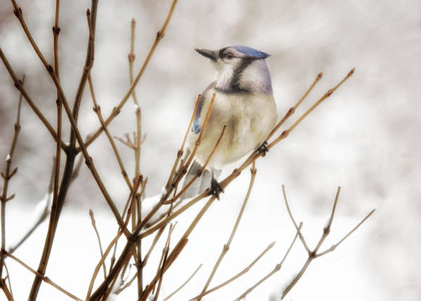 Wall Art - Photograph - Winter Blue Jay by Susan Capuano