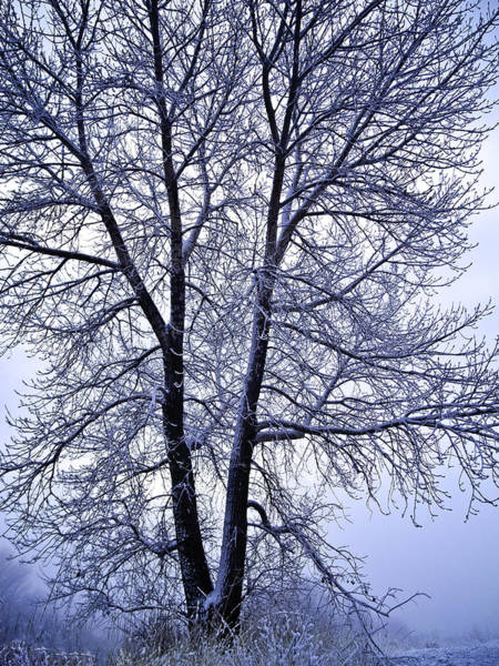 Winter Tree In Blue Fog Art Print