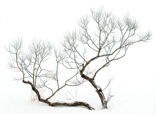 Winter Bonsai Art Print