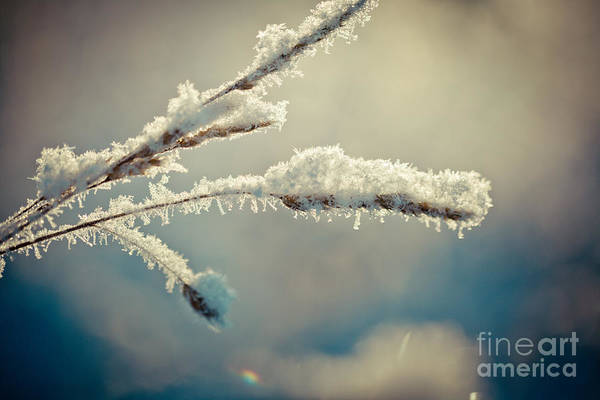 Photograph - Winter Branch Covered With Snow  by Raimond Klavins