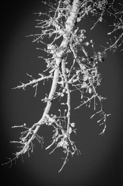 Photograph - Winter Branch by Frank Mari