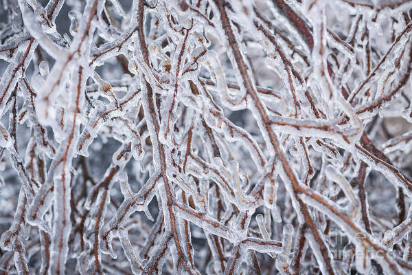 Photograph - Winter Branches In Ice by Elena Elisseeva