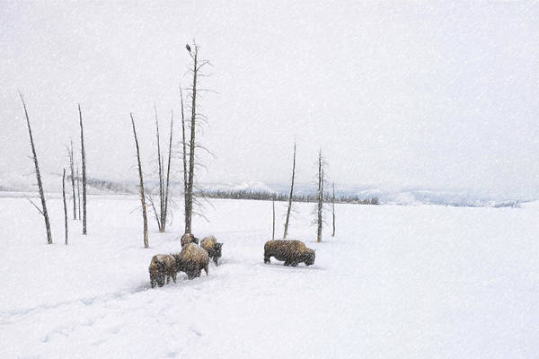 Photograph - Winter Buffalo by Ramona Murdock