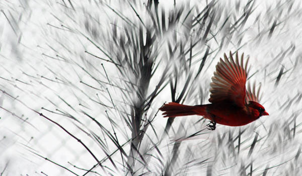 Photograph - Winter Cardinal by Heather Applegate